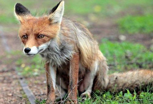 В Самарской области участились случаи бешенства среди животных