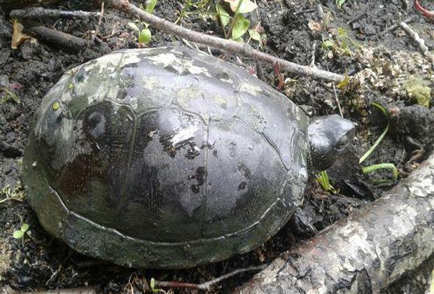 Рыбак поймал черепаху обычной удочкой