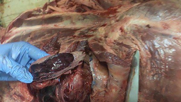 В Тольятти предотвратили поступление в продажу тонны опасной говядины