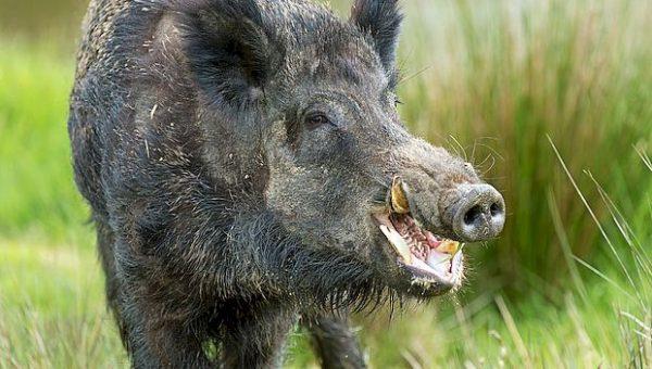 В Самарской области запретили охоту на кабана