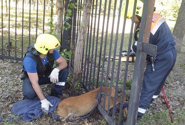 В тольяттинском санатории спасатели вызволили из ловушки косулю