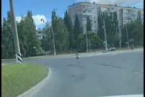 По улицам Тольятти бегала косуля