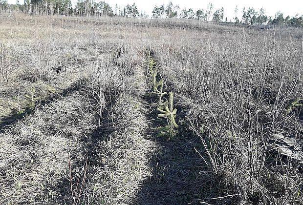 Чиновники не хотят восстанавливать лес. Их вообще не интересует эта тема.