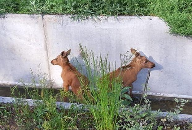 В Димитровграде лесники спасли двух лосят