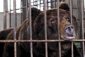 """Прокуратура отобрала у рестораторов """"незаконнорожденного"""" медведя"""