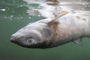 На Волге отмечена массовая гибель рыбы