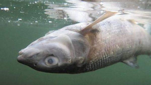 Найдены десятки тысяч экземпляров погибшей рыбы