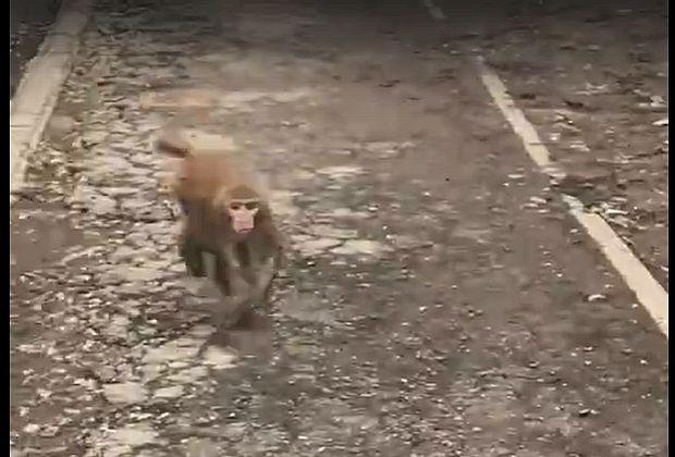В Тольятти на улице Мира обезьяна терроризировала прохожих