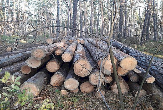 Муниципальные подрядчики валили вместо аварийных сосен здоровый лес в Тольятти