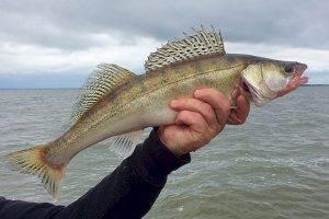 Рыбака оштрафовали на полмиллиона за несколько десятков судаков