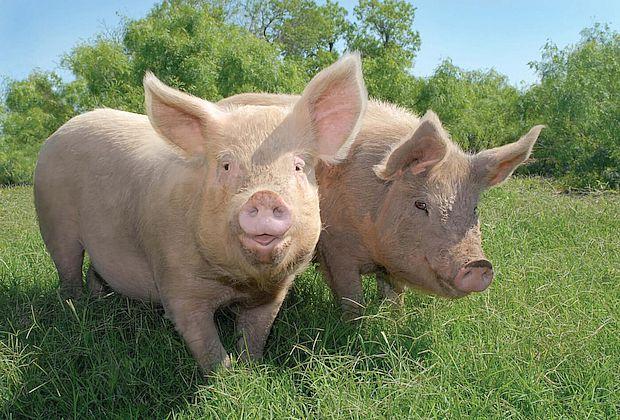 Животных будут истреблять из-за несуществующей угрозы чумы