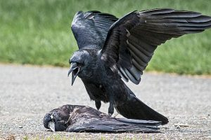 Егерей обязали уничтожить несколько тысяч ворон и голубей