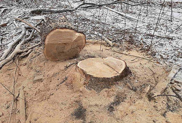 В Самаре остановили вырубку дубовой рощи после жалоб жителей